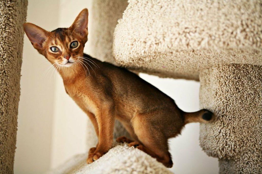 Течка у кошки: все, что нужно знать владельцам | Vetera